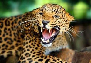 kung fu movimientos de animales estilo leopardo